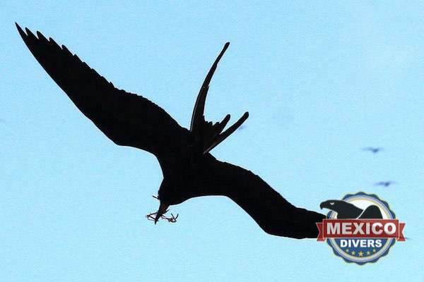 Contoy Island Frigate nesting