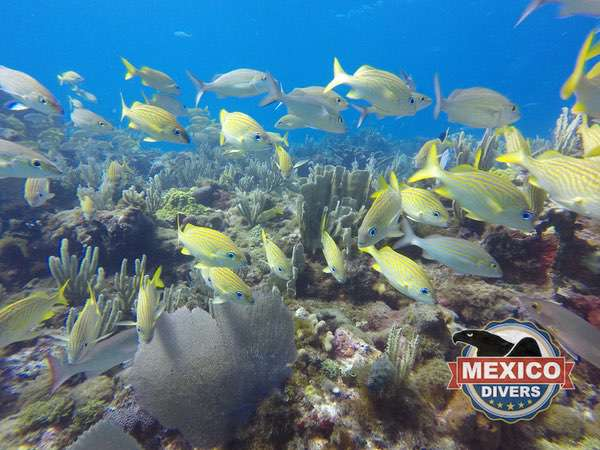reef full with grunts