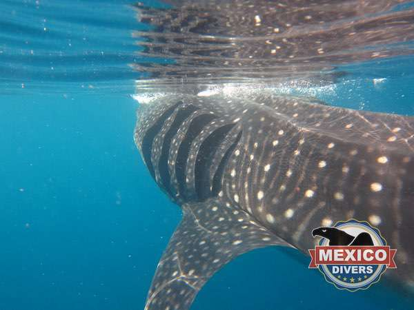 whaleshark from behind